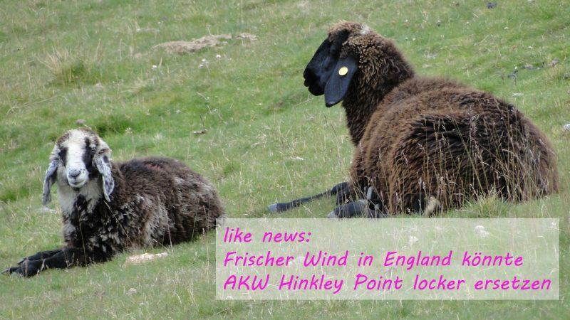 AKW Hinkley Point durch Wind zu ersetzen - Schafe und Windenergie - Energie neu denken